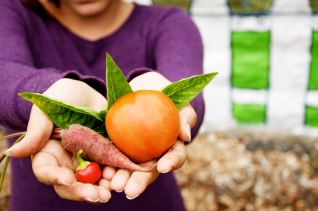 Gardener's hands hold a harvest including a pepper, beet, tomato, and basil at Danburry Community Garden in Danbury, CT.